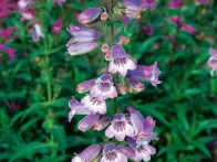 Penstemon, Sour Grape, is an upright perennial with lush foliage and grape colored flowers from early summer. It blooms from July to October.