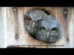 Funniest and Cutest Baby Screech Owls!
