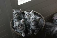 British Shorthair Kittens | Cattery Karsten | The Netherlands | www.kittentekoop.nl