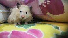 Fluffy the syrian hamster