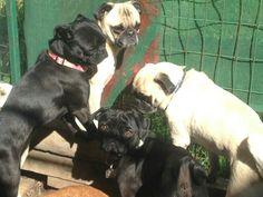 Gang time Pugs, Animals, Animales, Animaux, Pug, Pug Dogs, Animal, Animais