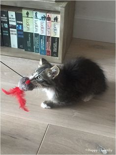 Aujourd'hui je vous explique comment jouer avec son chat et quels jouets lui offrir. Quand on adopte un chat, on se soucie généralement en premier de lui offrir unenourriture pour chat de qualitéet à lui apporterles soins dont il a besoin. Puis vient la question des jeux. Comment faire pour que mon chaton ne s'ennuie …