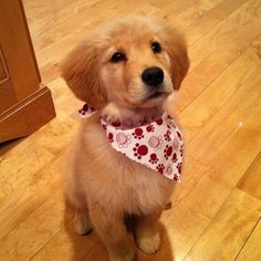This golden that will get what it wants because SHE LOOKS SO CUTE IN THAT HANKIE.