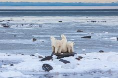 Smelling into the ocean air for far away seals. A moment of anticipation for meals to come. Photo © copyright by Lance Carter. #photography #fineart #wilderness #polar #bear