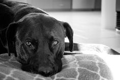 L1M1AP1: Photo of my boy Boston. Shot in auto mode on my Nikon D5200. Black and White filter in Lightroom.