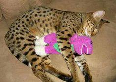 Cute! #servals