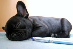 The Blue French Bulldog Puppy – What You Need To Know Before Owning One… #buldog