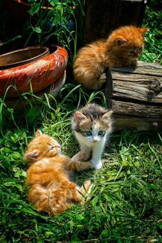 """Kitten in the middle: """"Kittens three are we, 'Ginger' 'Tom' and my name is: 'Bree.' - Cute, we think you'd agree?!"""" (Short Poem Written By: © Lynn Chateau.)"""