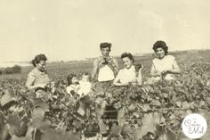 Old Family Photos and the Importance to Preserve them – www.lecoindemel.com. Grape-picking in the Champagne Region - 1959.