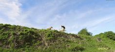 Lioness jumps off a cliff to catch an antelope in mid-air