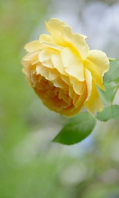 ~ Yellow Rose