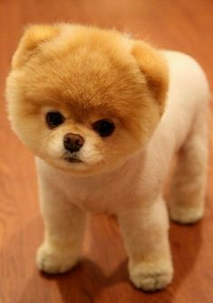 boo the dog.the cutest dog ever Boo The Cutest Dog, World Cutest Dog, Cutest Dog Ever, Cutest Puppy, Cutest Pets, Baby Animals, Funny Animals, Cute Animals, Wild Animals