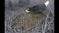 Love watching the Decorah Bald Eagles... Eggs should arrive toward the end of February. You can watch the entire process from laying to hatching to leaving the nest. Would be great educational tool for any teacher!