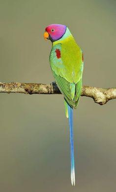 Hunting  #headed #parakeet plum headed parakeet parakeet care tips parakeet dr Fancy Parakeet, Parakeet Colors, Parakeet Food, Monk Parakeet, Blue Parakeet, Budgie Parakeet, Baby Parakeets, Parrots, Animals