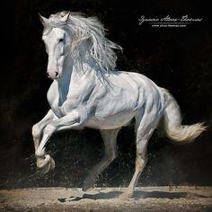 "1,234 Likes, 9 Comments - Ignacio Alvar Thomas (@alvar_thomas) on Instagram: ""Toledano XXXI stallion from @yeguadacartuja and winner at SICAB 2016 ALTA ESCUELA- SUPERIOR.…"""