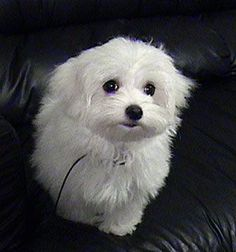 Such a sweet face. My heart belongs to a maltese :)