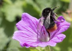 Red-tailed Bumblebee (Bombus Lapidarius) on Geranium from The Big Bee Page