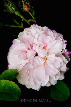 Léda, painted damask rose