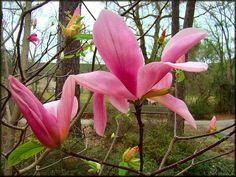 Daybreak Magnolia