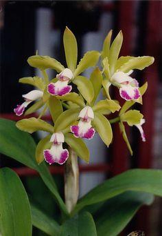 One of my orchids - Cattleya guttata (? Amazing Flowers, Love Flowers, Orchid Flowers, Growing Flowers, Planting Flowers, Miniature Orchids, Cattleya Orchid, Orchids Garden, Orchidaceae