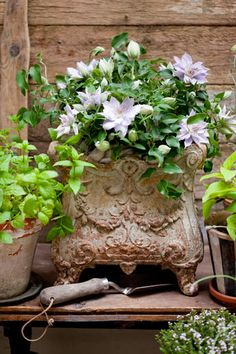 A new bush type clematis that grows in a pot...absolutely luv the planter!