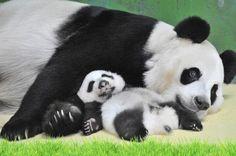 長隆大熊貓三胞胎 Chimelong Panda Triplets