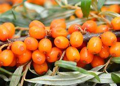 Rakytník řešetlákový (Hippophaë rhamnoides)- voroběvská, leikora a krasavice. http://www.ireceptar.cz/zahrada/uzitkova-zahrada/pestujeme-rakytnik-resetlakovy/