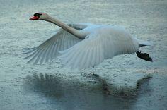 Flying Swan | Flying Swan by Brendan Schoon
