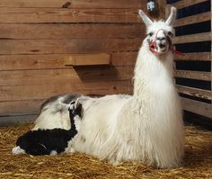 Mama llama and baby. Alpacas, Animals And Pets, Baby Animals, Cute Animals, Llamas Animal, Cute Llama, Baby Llama, Kune Kune Pigs, Corgi Names