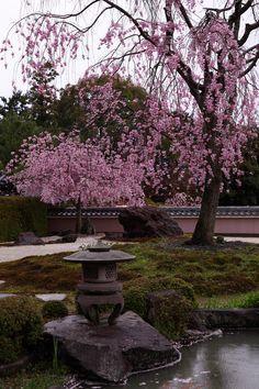 Weeping cherry trees at Shoho-ji temple, Kyoto, Japan 正法寺 京都