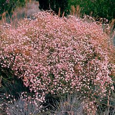 "Pink gypsophila ""rose veil"" Exactly what are Wedding Design Supplies? Landscaping Plants, Garden Plants, Catnip Plant, Garden Tool Shed, Hoya Plants, Herbaceous Border, Gypsophila, Garden Borders, Outdoor Plants"