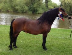Dartmoor Pony stallion Okeleat Navigator
