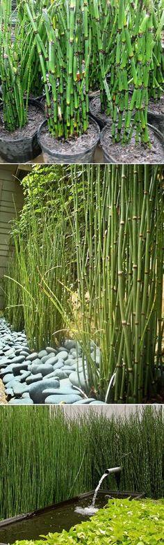 Equisetum Horsetail Plants