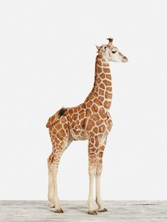 Baby Giraffe No. 5 by Sharon Montrose