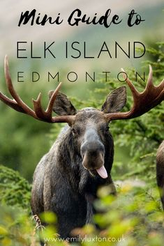 Heading to Edmonton in Alberta, Canada? Come and discover Elk Island National Park - home to huge herds of bison, dazzling lakes, and wildlife-rich aspen forests. Denver Travel, Vancouver Travel, Travel Oklahoma, Canada National Parks, Banff National Park, Edm, Aspen, Alberta Travel, Canadian Wildlife