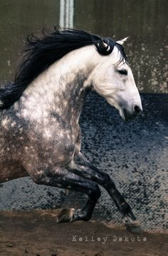 soft spot for horses in this color. when i was a kid my favorite horse, Azul, had the same color, just a bit more grey-ish Most Beautiful Animals, Beautiful Horses, Beautiful Creatures, Majestic Horse, Majestic Animals, Zebras, Dapple Grey Horses, Gray Horse, Horse Mane