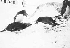 rois-pingouins-louis-gain-mnhn-courtesy-mimdi