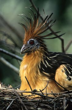 Hoatzin Bird | Guyana, South America | The bizarre, pheasant-sized Hoatzin is found in Amazonian South America. It is one of the few birds whose digestive system is adapted to allow them to eat leaves as a steady diet. Still more remarkable are the young, which bear claws on their developing wings as well as on their feet.