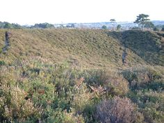 Canford Heath, Dorset by Stuart Buchan, via Geograph. The sort of view and colors Olivia describes.