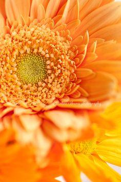 Orange Gerbera Flower | Catalina Alvarez
