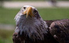 Aguila - Parque de la Naturaleza de #Cabarceno #Cantabria #Spain