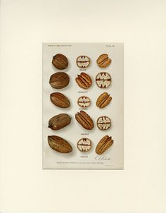 """Matted Antique Pecan Print """"Pecan Varieties"""" C. 1912 Nuts U S Department of Agriculture Botanical by AntiquePrintBoutique on Etsy Vintage Kitchen Decor, Antique Prints, Agriculture, Pecan, Food Print, Place Card Holders, Antiques, Cards, Etsy"""