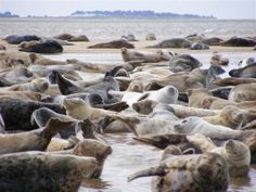 Grey and Harbour Seals at Blakeney Point   Contributed by: Sam Hall
