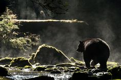 Digital Photography, Travel Photography, Bear Species, American Black Bear, National Geographic Travel, Climate Change Effects, Face Light, Zoology, Nature Animals