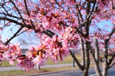 Prunus 'Okame Common Name: Taiwan Cherry Plant Story: With an early bloom then other cherries, Prunus 'Okame', features fragrant pink flowers with reddish flower stalks. Leaves turn from bronze red to bright orange in the fall. The reddish brown bark feature horizontal lentils. Type: Tree Deciduous Bloom Season: Spring Flower Color: Pink Planting Zone: 6-8 Height: 15-25 ft Spread: 15-20 ft Light Requirements:Full Sun
