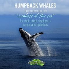Did you know? 🐋 #HumpbackWhales are comming to Golfo Dulce!  #NicuesaLifestyle #PlayaNicuesa #CostaRica #Nature #Green #Sustainable #NatureLover #Osa #Landscape #travel #Beautiful #CRC #Paradise #NatureSound #Earth #Conservation #WhaleWatching