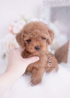 26 Best Teacup Puppies For Sale Images Teacup Puppies