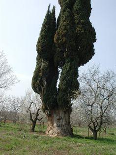 Amazing Tree in Turkey