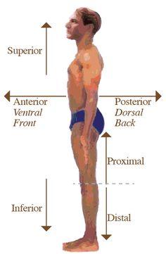 Anterior/ ventral: hacia el frente del cuerpo.  Posterior/ dorsal: hacia la superficie de la espalda. Lado opuesto a la superficie anterior.