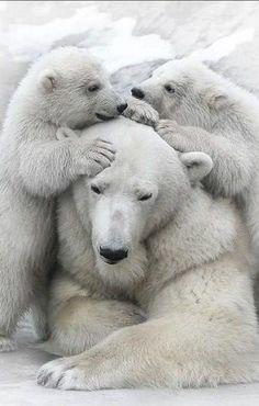 beautiful polar bear family